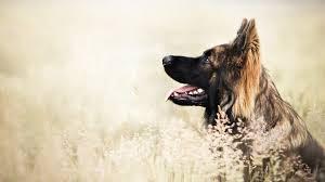 dog german shepherd desktop wallpaper doggy puffy dogs