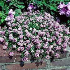 alyssum flowers explore cornell home gardening flower growing guides growing