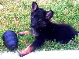 belgian shepherd us army two hands four paws fundraising two hands four paws