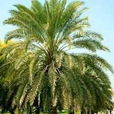 sylvester palm tree price buy sylvester date palm from ty ty nursery