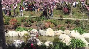 san diego cherry blossoms festival youtube