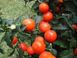 jerusalem cherry facts how to grow a jerusalem cherry houseplant