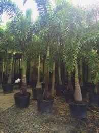 sylvester palm tree sale foxtail palm wodyetia bifurcata for sale