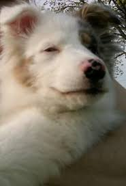 australian shepherd double merle keller the australian shepherd animals pinterest puppys
