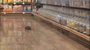 rats captured on in seattle grocery store kiro tv