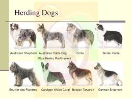 australian shepherd with cats breeds of dogs u0026 cats