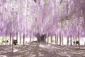 higaeri from tokyo ashikaga flower park u2013 the backpacking ballerina