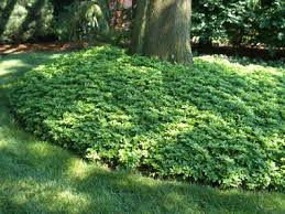 groundcovers trees what can i put around my tree besides mulch