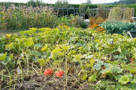 harvesting dry beans lopez island kitchen gardens