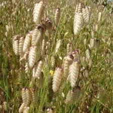 quaking grass briza maxima easy to grow perennial that forms