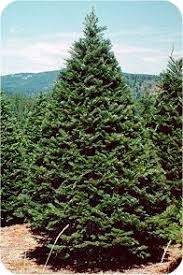 Pacific Northwest Christmas Tree Association - grand fir