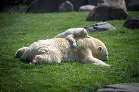 Columbus Zoo Lights Hours by Polar Bear Cub Makes Debut Sunny 95