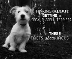 brushing a bedlington terrier facts about jacks all about jack russell terriers pethelpful