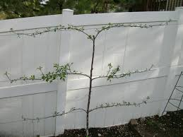 espalier fruit trees urbancompostsystems