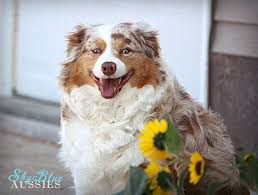 australian shepherd vocal sky blue aussies home facebook