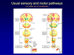 Motor Reflex Arc 1 Coordinated Purposeful Movements Voluntary Motor Function