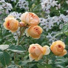 most fragrant climbing rose jude the obscure most fragrant