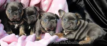 french bulldog blue tri blue tan color once in a blue moon