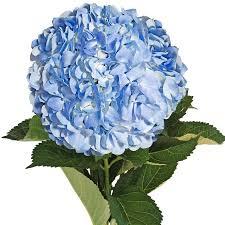 flower hydrangea fresh flowers blue hydrangeas 15 stems walmart