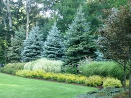 i like the large evergreens with the graceful grasses in front