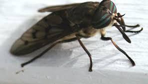 petites mouches cuisine mouches à chevreuil 10 trucs contre les taons