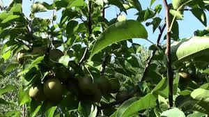 Planting Fruit Trees In Backyard Olympic Growing Asian Pear In Your Own Backyard Part 10