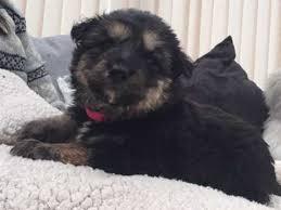 belgian shepherd for sale ireland german shepherd dogs and puppies for sale in the uk pets4homes