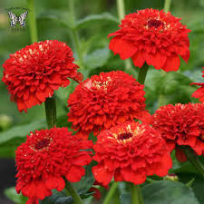 list of fall flowers zinnia seeds 120 top zinnias annual flower seeds s g s