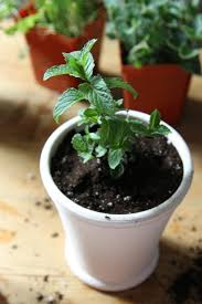 Easy Herbs To Grow Inside Diy Shade Tolerant Herbs To Grow In Your Apartment Gardenista