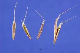 usda native plants plants profile for bromus tectorum cheatgrass