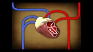 Heart Anatomy Youtube The Circulatory System Youtube