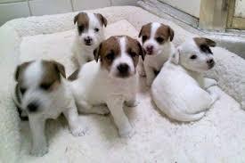 affenpinscher breeders canada affenpinscher sale ireland affenpinscher puppies buy buy