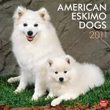 american eskimo dog calendar wright u0027s american eskimos american eskimo dogs and puppies