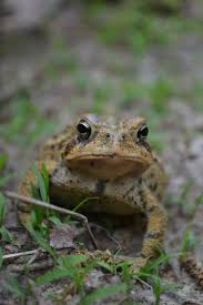 How To Get Rid Of Cane Toads In Backyard 35 Best Toad Abode Done U003e Images On Pinterest Toad House