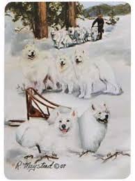 american eskimo dog nz samoyed jpg