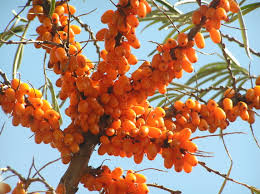 native plants for clay soil sea buckthorn tree u0027s seabuckthorn plants u0026 shrubs