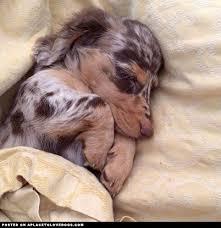 australian shepherd dachshund best 25 blue dapple dachshund ideas on pinterest baby dachshund