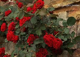 the graceful gardener don juan climbing rose