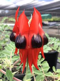 black bean aboriginal use of native plants australian bg australianbg twitter