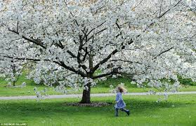 ideal weather conditions help cherry blossom trees burst into flower