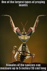 Mantis Meme - devil s flower mantis idolomantis diabolica quickmeme
