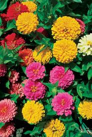 Zinnia Flowers Can Zinnias Grow In Part Shade Hunker