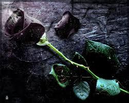 Black Rose Flower Best Ideas About Black Rose Flower On Pinterest Black Roses Hd