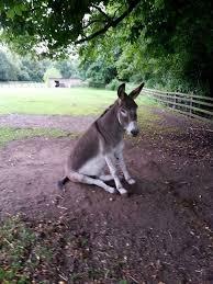 donkey sat on the ground esel pinterest donkey animal and fur
