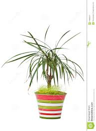 Dracaena Marginata Dracaena Marginata In Stripe Pot Isolated On White Stock Images