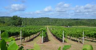 texas grape growers experiencing banner year