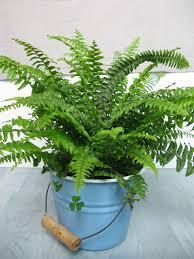 shop for boston fern plants buy houseplants online