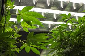 Fluorescent Light For Plants Which Growing Lights Are Better For Indoor Weed Plants Allbud