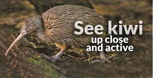 best place to see kiwi otorohanga kiwi house new zealand