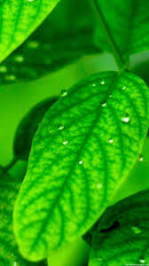 plant leaf macro green iphone 6 wallpapers hd and 1080p 6 plus